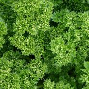 Parsley  Moss Curled type - 1000 seeds - Vegetable / Herb